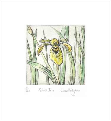 yellow iris etching